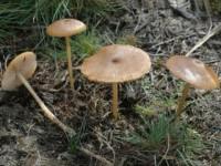 Entoloma longistriatum var. sarcitulum (K.et R. ex Orton)Noordeloos