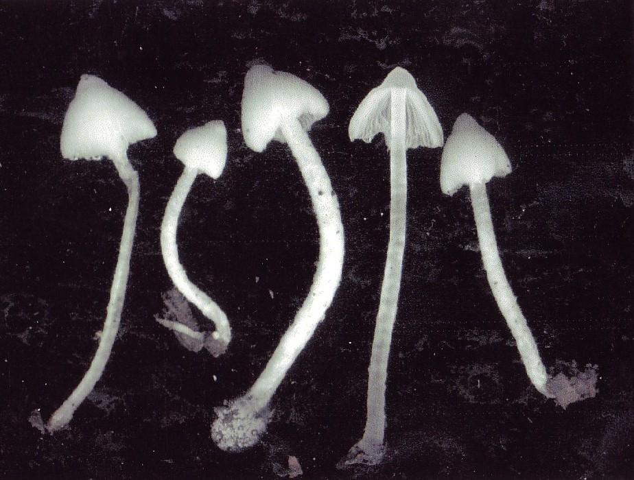 Psathyrella marcescibilis var. virginea J. E. lange ex Surault, Tassi & Coué