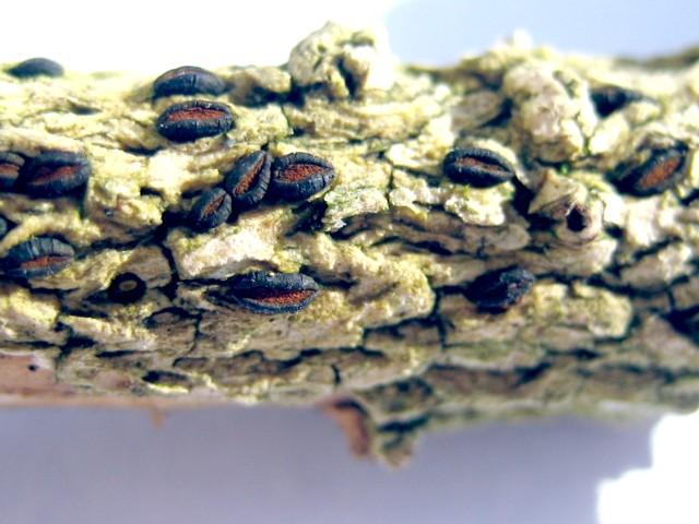 Eutryblidiella hysterina (Dufour)Petrak