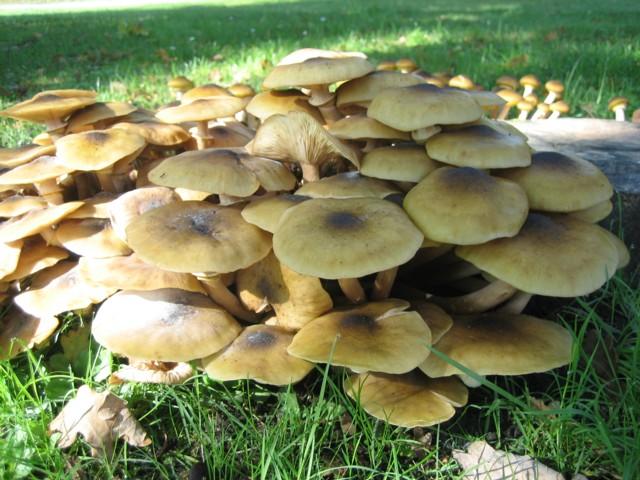 Armillaria mellea (Vahl:Fr.)Kummer