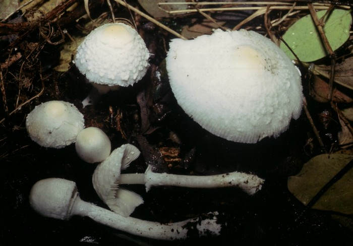 Sericeomyces erioderma (Malençon)Contu