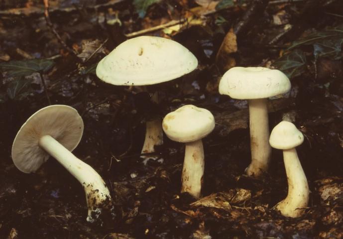 Tricholoma pseudoalbum Bon