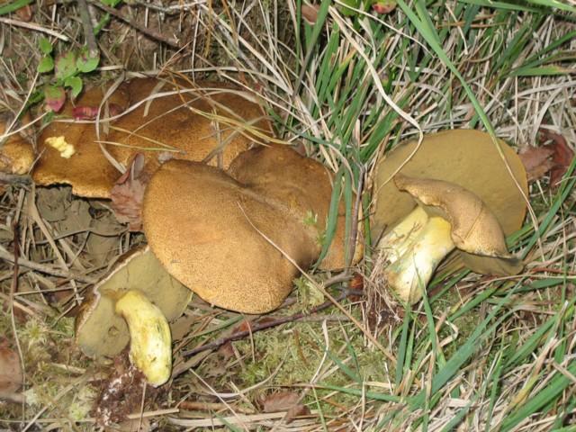 Suillus variegatus (Swartz:Fr.)Kuntze