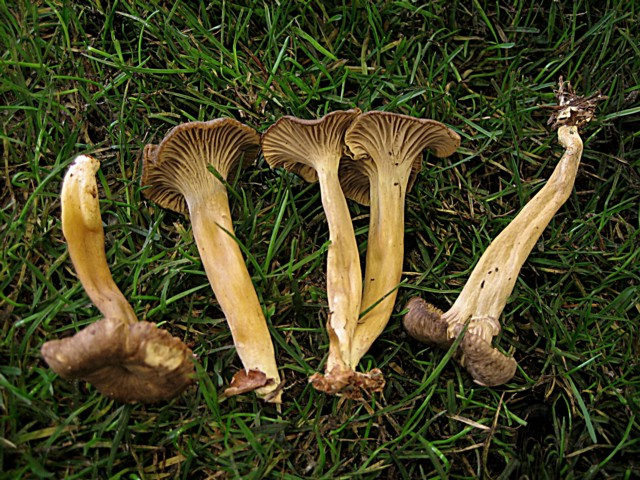 Cantharellus tubiformis Fr.:Fr., ss Cooke, non ss Fr.