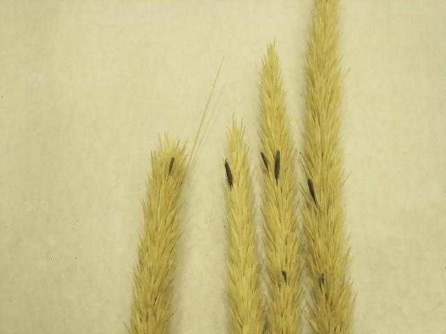 Claviceps purpurea (Fr.:Fr.)Tulasne (Non Fuckel)
