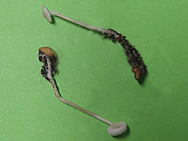 Collybia cookei (Bresadola)J.D.Arnold