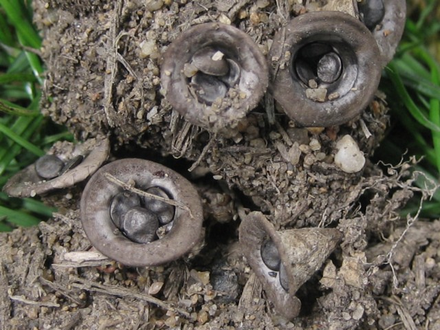Cyathus olla (Batsch:Pers.)Pers.