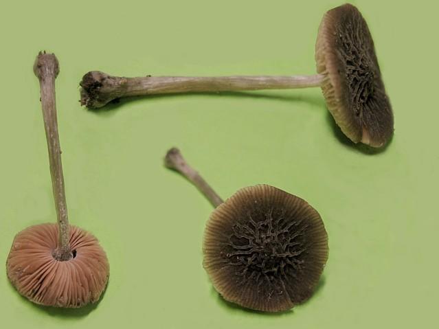 Pluteus thomsonii (Berk.et Br.)Dennis, ss Moser