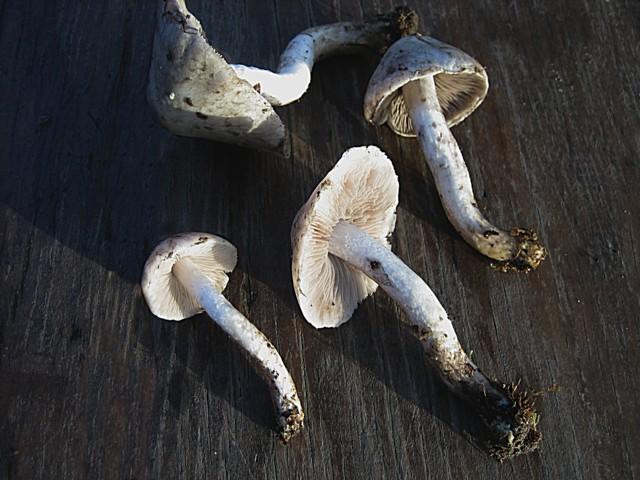 Psathyrella cotonea (Quélet)Konrad et Maublanc