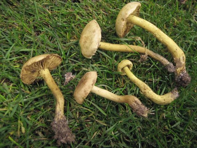 Tricholoma sulfureum (Bulliard:Fr.)Kummer
