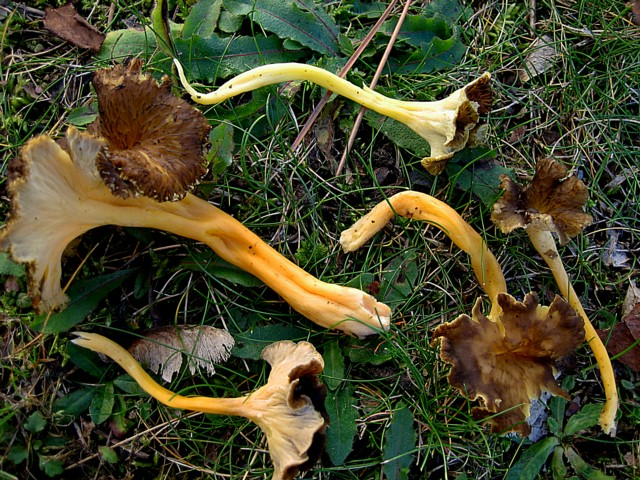 Cantharellus lutescens (Pers.:Fr.)Fr., ss Fr.