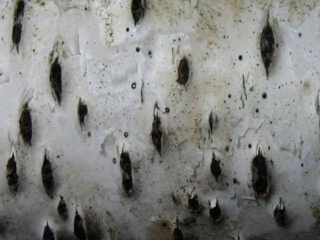 Diatrypella favacea (Fr.:Fr.)Saccardo