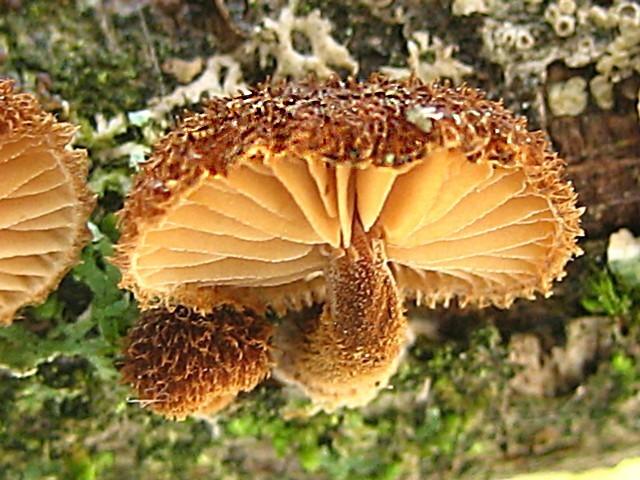 Phaeomarasmius erinaceus(Fr.:Fr.)Scherffel, non Pers.