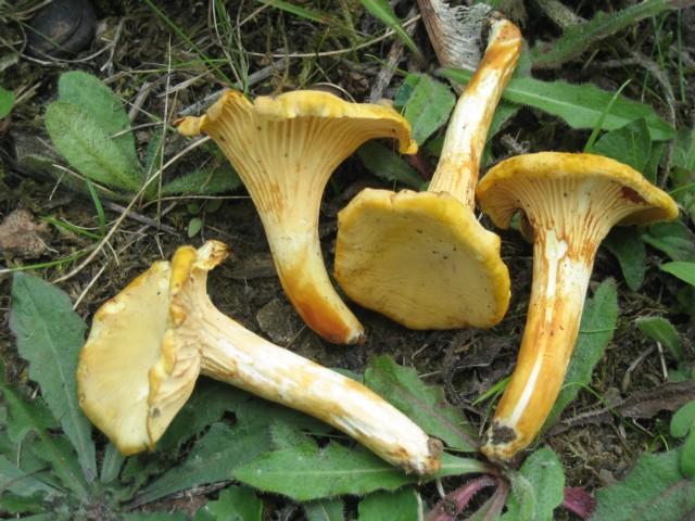 Cantharellus cibarius var. ferruginascens (Orton)Courtecuisse