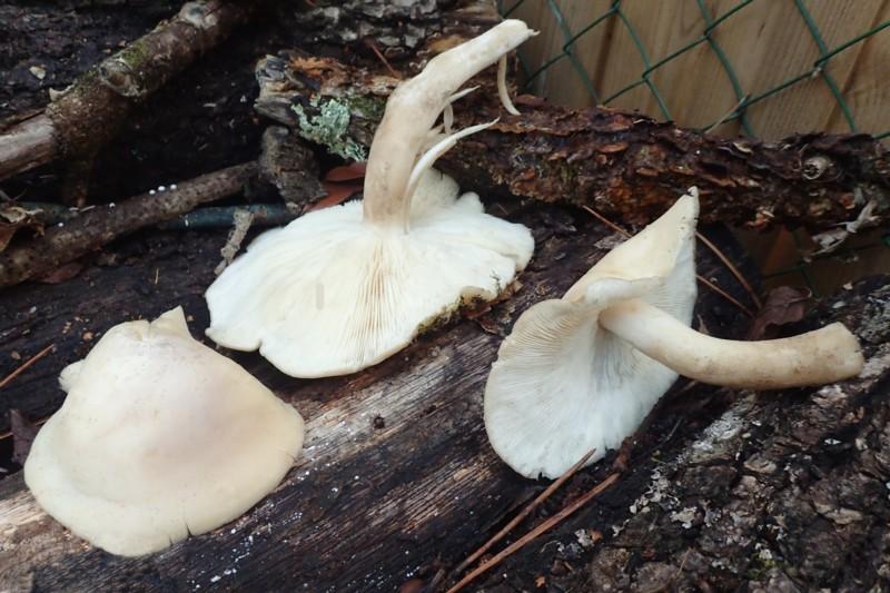 Sortie mycologique – Forêt de Vouillé à Quinçay (86) – Dimanche 13 novembre 2016