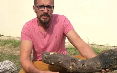 Un mycologue fait de la mycoculture